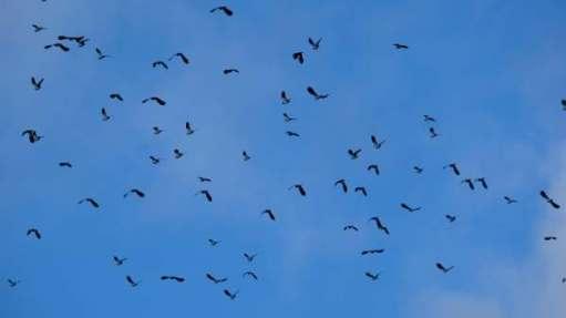 Large flock of Lapwings, Slimbridge.