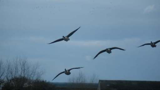 More Canada Geese flying over Slimbridge.