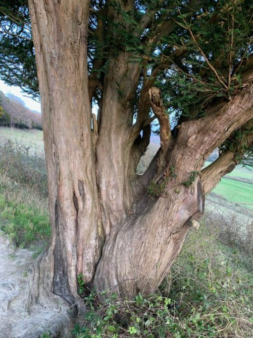 Several Yew trees seemingly eminating from the one trunk.