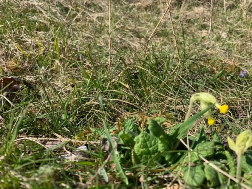A somewhat out of focus picture of a cowslip.