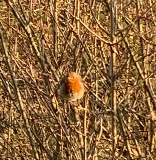 A robin bringing a splash of colour amongst the dead looking bushes.