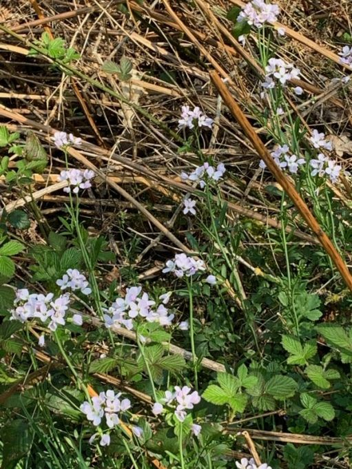 Ladies Smock, or Cuckoo Flower (named as it flowers when cuckoos start to call).