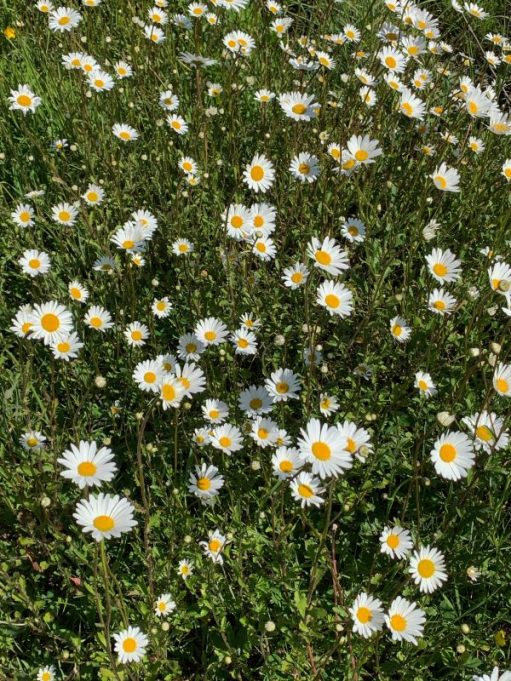A glorious spread of Moon Daisies.