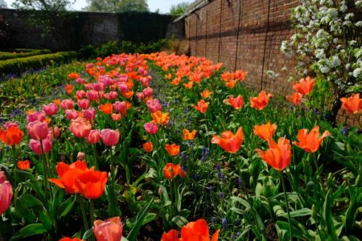 Dunsborough Park Gardens - bed of Red and Lilac tulips.