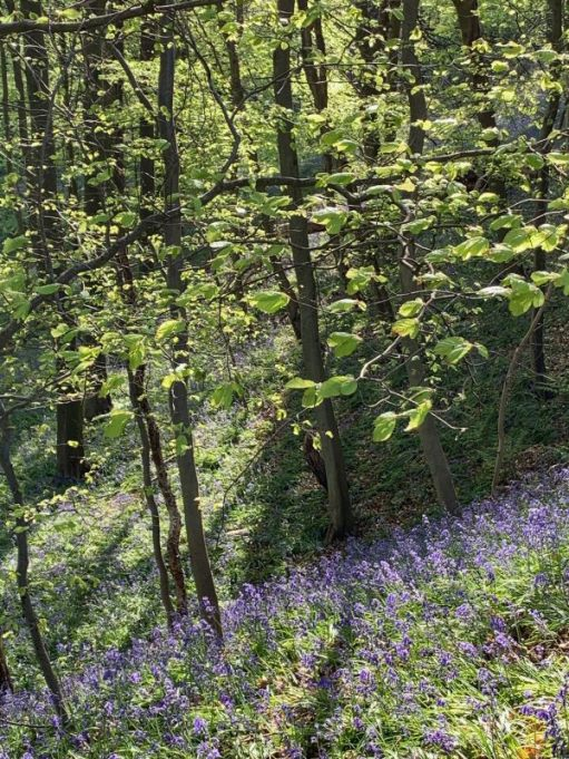 Some beautiful Bluebells on a sloping bank underneath some trees seen on the Bluebell Walk.