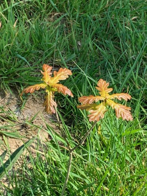 New leaves on a pair of tiny oak saplings just poking up out of the grass.