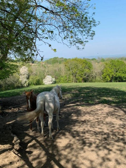 Two horses, and gery and a brown with a white blaze on its nose, resting in the shade of a tree.