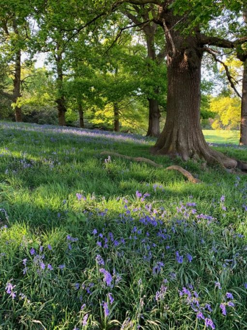 Bluebell carpet amongst mature trees.