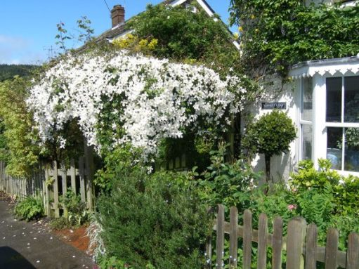 The Clematis Montana in full bloom over the pergola, with the house front covered in Wisteria.