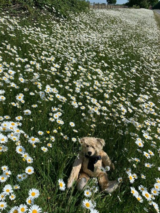 We saved the Moondaisies - Bertie sat in a verge surrounded by Moondaisies.