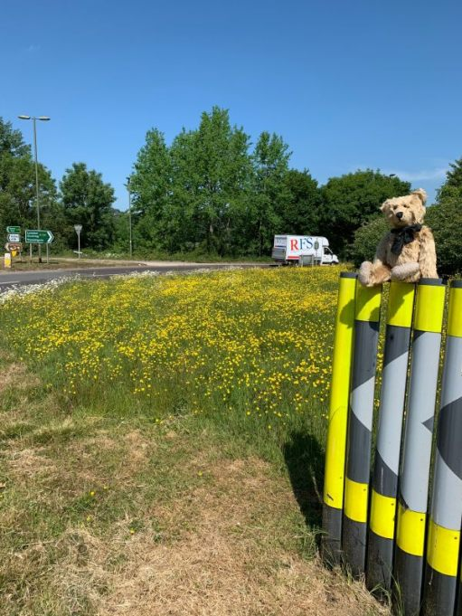 Bertie on the Beare Green Roundabout, showing just the 1m mown area with the rest awash with yellow wild flowers.