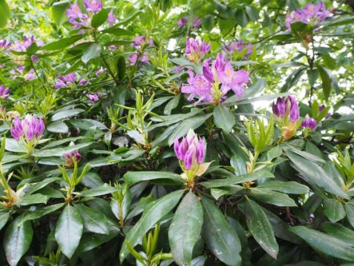The beautiful purple flowers of the Catawba Rhododendron.