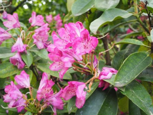 The beautiful pink flowers of the Catawba Rhododendron.