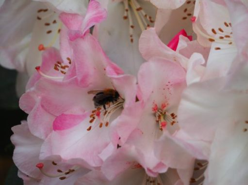 Bee pollenating the Ornamental Rhododendron.