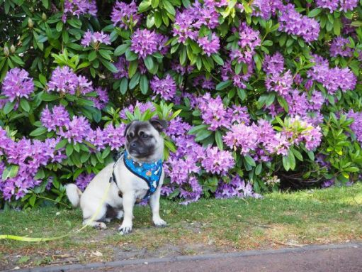 Ozzie (half Chinese Crested half Pug) sat in front of a purple Rhododendron.