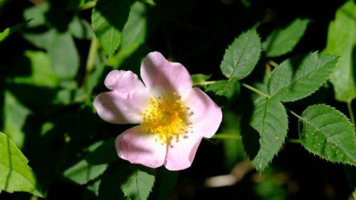 Wild Rose.