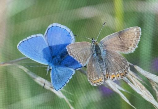 Male and Female Adonis Blue.