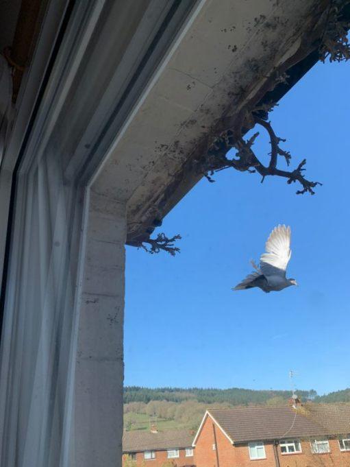Collared Dove. Notice the bare Wisteria.