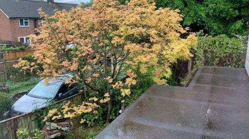 """The spring leaves of """"Brilliantissimum""""."""