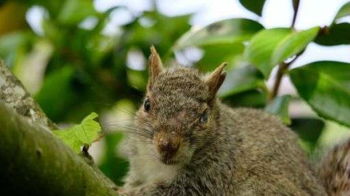 Close up of a Grey Squirrel with a damaged eye and ripped ear.