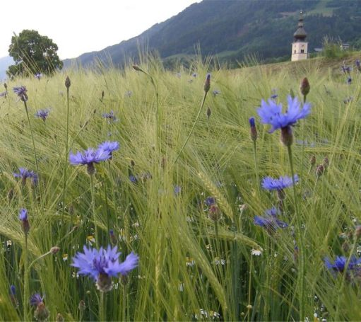 A field with Cornflowers in Austria.