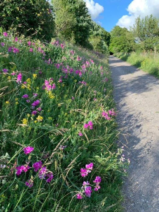 ...soon to turn east continuing on the carriage road. Lathyrus (Everlasting Pea). Very colourful in late June.