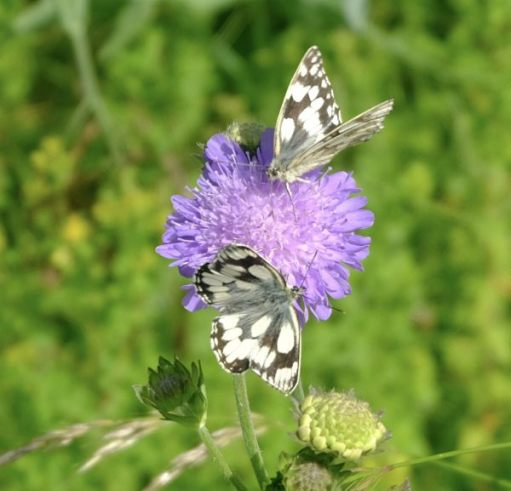 Two Marble White Butterflies on a Field Scabious flower.