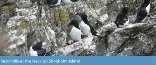 Razorbills at the neck on Skokholm Island.