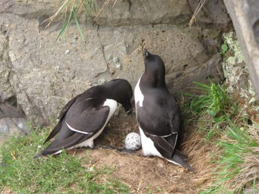 A pair of Razorbills with a solo egg.