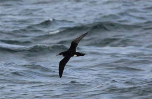 Manx Shearwater in flight over the sea.