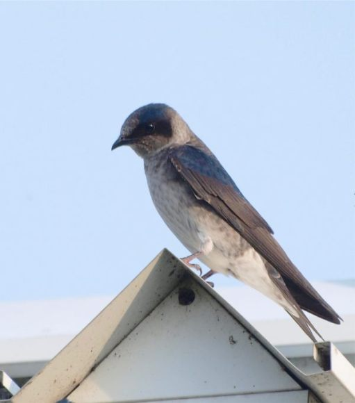 Purple Martin - female.