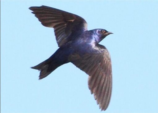 Purple Martin in flight.