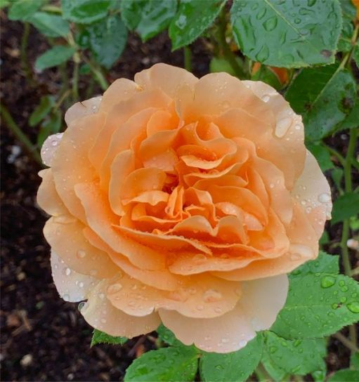 The roses came to life in the rain.
