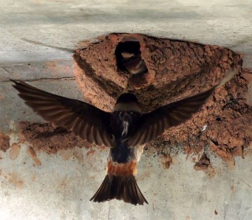 The North American Cliff Swallow