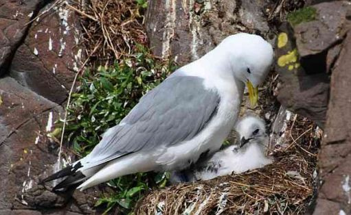 Kittiwake on the nest with a baby.