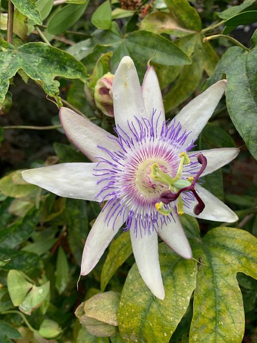 Wisley Titbits: The Passion Flower