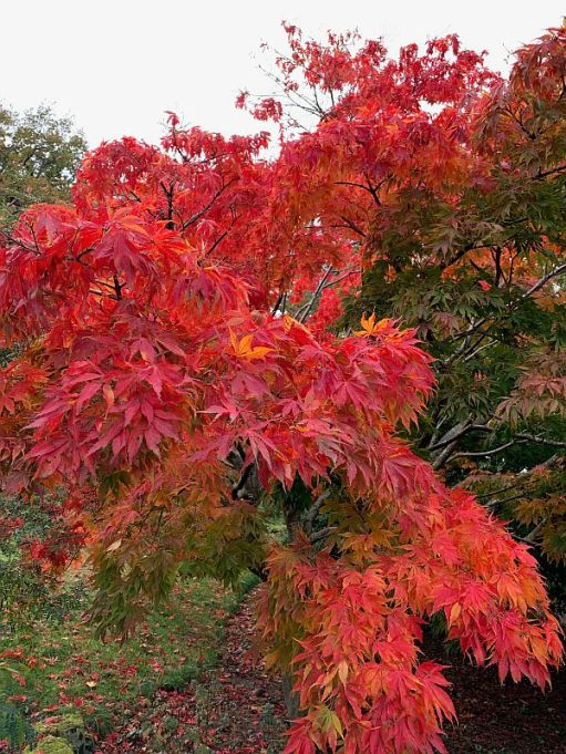 Wisley Titbits: The Acer.