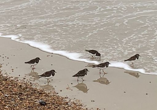Turnstones at the water's edge.