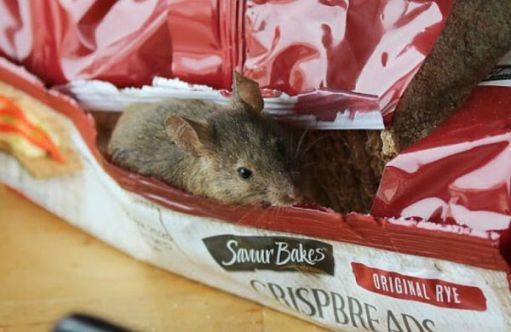 Mouse tucking into a pack of crispbreads!