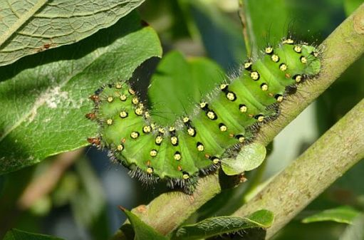 Emperor Moth Caterpillar.