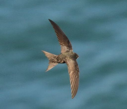 A Swift in flight over the sea.