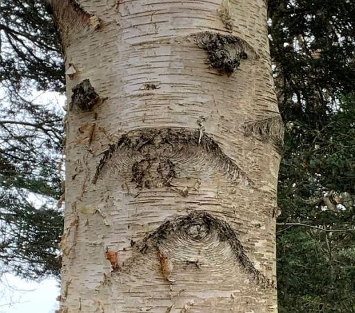 A tree with what looks like a sad face marked in its bark.