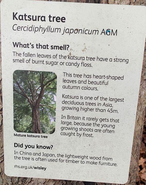 Information on the Katsura Tree.