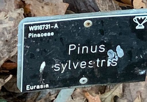 Nameplate for the Pinus Sylvestris Tree.
