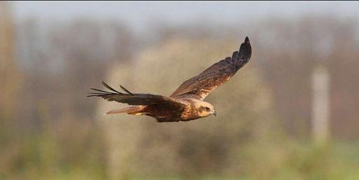 Marsh Harrier in flight.
