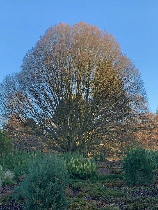 Mindfully Arboretumanally: Bobby's favourite tree.