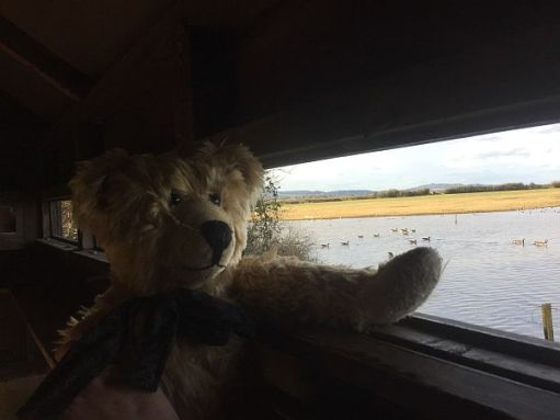 Bertie looking across the water out of the hide in Slimbridge.
