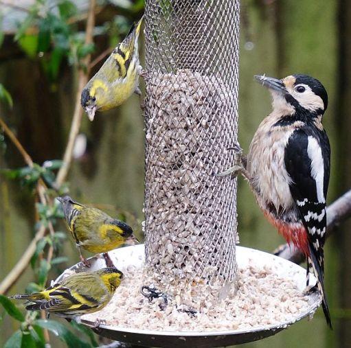 Male Siskins, female Great Spotted Woodpecker.