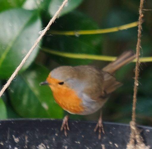Robin (bit blurred).