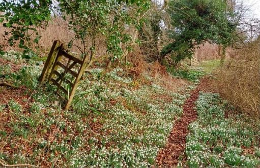 A snowdrop strewn forest path.